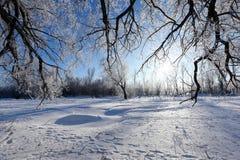 Oaks in hoarfrost Stock Image