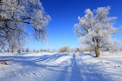 Oaks in hoarfrost Stock Images