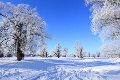 Oaks in hoarfrost Royalty Free Stock Images