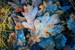 Oaks leafs and first frost Royalty Free Stock Photo
