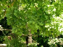 Oaks leaves in Donau Delta Royalty Free Stock Photo