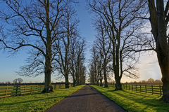 Oaks Lining a Country Lane in Winter Stock Photography