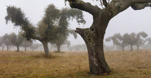 Oaks in the mist 2 Royalty Free Stock Photo
