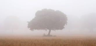 Oaks in the mist Stock Photos