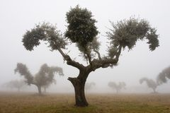 Oaks in the mist 4 Stock Image