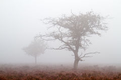 Oaks in mist Royalty Free Stock Photography