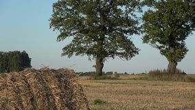 Oaks and straw bales on harvested wheat field stock video