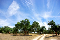 Oaks tree at Portugal. Royalty Free Stock Photos