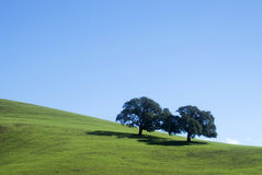 Oaks trees Royalty Free Stock Photo