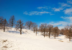 Oaks in winter stock photography