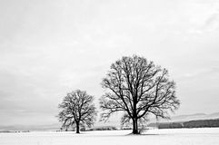 Oaks in winter Royalty Free Stock Photos