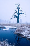 Oaks in the winter aura. Royalty Free Stock Photo