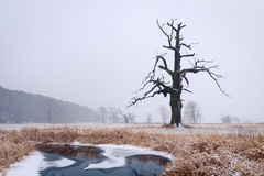 Oaks in the winter aura. Stock Images