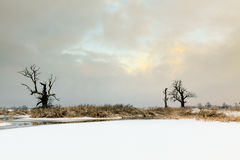 Oaks in the winter aura. Royalty Free Stock Photography