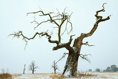 Oaks in the winter aura. Royalty Free Stock Image