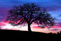 oaksolnedgångtree Arkivfoto