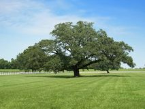 oaktree Royaltyfria Foton