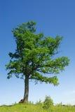 oaktree Royaltyfri Foto