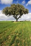 oaktree Royaltyfri Bild