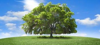 oaktree Arkivbild