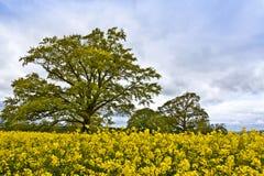 Oaktree dans un domaine de graine de colza Photographie stock libre de droits