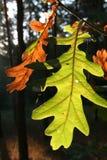 oaktree för 2 leaves Fotografering för Bildbyråer