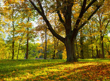 Oaktree i fall royaltyfria bilder