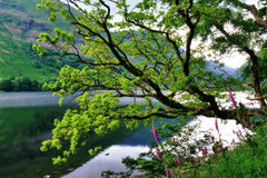 OakTree och Foxgloves vid en Lake Arkivfoto