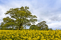 Oaktree in a rapeseed field. Royalty Free Stock Photography