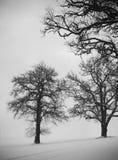 Oaktrees i vinter Arkivfoton