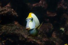 Oange脊椎Unicornfish Naso lituratus 免版税图库摄影