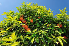 Oange tree in Ibiza Spain Stock Image