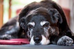 OAP (animal de estimação envelhecido velho) Foto de Stock