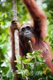 Oarangutan en árbol Fotografía de archivo libre de regalías