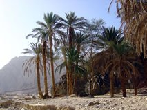 Oasis. An oasis in desert Sinai Egypt Royalty Free Stock Photography