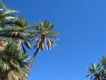 Oasis. Palm trees in oasis in Tunisia (Africa Stock Photo