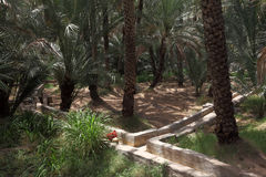 Oasis of Al Ain, Abu Dhabi. Date Palm Trees in the Oasis of Al Ain, Emirate of Abu Dhabi Royalty Free Stock Photo