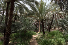 Oasis of Al Ain, Abu Dhabi. Date Palm Trees in the Oasis of Al Ain, Emirate of Abu Dhabi Royalty Free Stock Image
