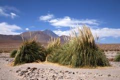 Oasis in Atacama desert Stock Image