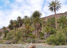 The oasis Barranca de la Madre of Ajui on Fuerteventura Royalty Free Stock Image