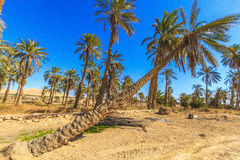 Oasis. In Biskra county in Algeria Stock Photo