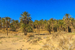 Oasis. In Biskra county in Algeria Stock Image