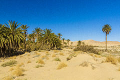 Oasis. In Biskra county in Algeria Stock Images
