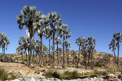 Oasis - Damaraland -  Namibia. An oasis in Damaraland in the Namib Desert in Namibia Royalty Free Stock Photo