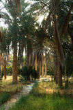 Oasis with date palm Royalty Free Stock Image