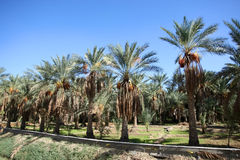 An oasis of date palms Royalty Free Stock Photography