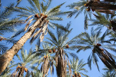 Oasis of dates palms Stock Photography