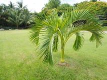 Oasis de las palmeras, palmeras en el jardín, hojas de palma hermosas Fotografía de archivo libre de regalías