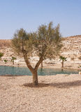 Oasis in the Desert. Negev, Israel Royalty Free Stock Photo