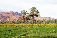 Oasis in the desert from Morocco Royalty Free Stock Photo